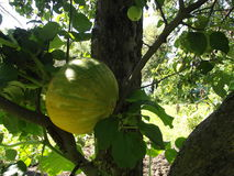 A green pumpkin ripens, clinging to a tree stock image
