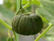 Green pumpkin. Small pumpkin green background. Organic vegetable farming royalty free stock images