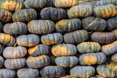 Green pumpkin vegetable of agriculture harvesting on market. Agr Stock Photography