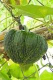 Green pumpkin in vegetable garden Stock Photos