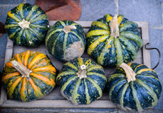 Green pumpkin with yellow stripes of the autumn harvest. Stock Image