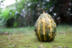 Green pumpkin with yellow stripes Stock Image