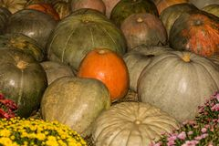 Green pumpkins in the foreground flowers, field harvested crop b. Green pumpkins in the foreground flowers field harvested crop background Royalty Free Stock Photos
