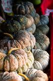 Green Pumpkins. Fresh pumpkins in an orderly from vegetable garden stock photos