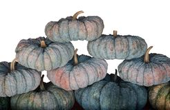 Green Pumpkins. Fresh pumpkins in an orderly from vegetable garden royalty free stock photography