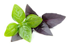 Green and Purple Basil Herb Isolated on White Background Stock Photo