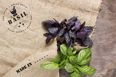 Green and purple basil. Royalty Free Stock Images