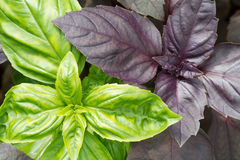 Green and purple basil leaves close-up royalty free stock images