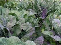 Green and purple cabbage stock photo