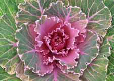 Green and purple cabbage vegetable Royalty Free Stock Images