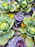 Green and purple cabbage in vegetable garden Stock Image