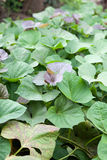 Green and purple fresh leaves of sweet potato on farm Royalty Free Stock Photography