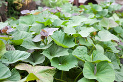 Green and purple fresh leaves of sweet potato on farm Stock Photography