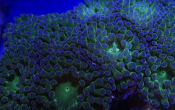 Green and Purple Frogspawn Polyps Royalty Free Stock Photography