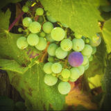 Green, Purple Grapes, Temecula, California. Small green grapes and one purple grape hang on the vine in the wine country of the Temecula Valley in Riverside Stock Photography