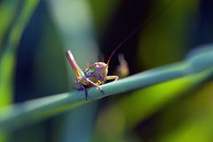 Green Purple Grass Hopper Close Up Photography Royalty Free Stock Photo