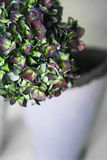 Green and purple hydrangea flowers on a gray background Royalty Free Stock Photography