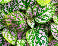 Green and purple leaf, decorative plant detail.  Royalty Free Stock Photo