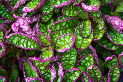 Green and Purple. Leaved plant Royalty Free Stock Photography