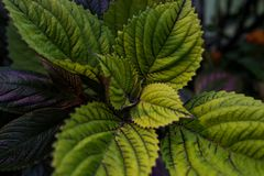Green Purple Leaves perfect for small business and gardens stock photo