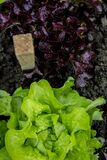 Green and Purple Lettuce on Ground Stock Photography