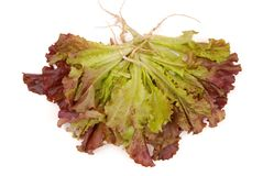 Green and purple lettuce, isolated salad; green ang red salad, f Stock Photos