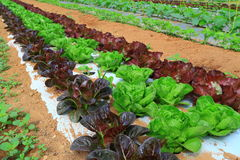 Green Purple Lettuce Plants Royalty Free Stock Photography