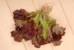 Green and purple lettuce, salad; green ang red salad, fresh sal royalty free stock images