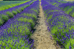 Green and Purple rows of lavender Royalty Free Stock Photography