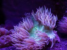 Green and purple Sea Anemone underwater stock photo