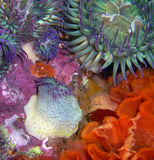 Green and Purple Sea Anemones. Green and Purple Sea Anemone aggregate surrounded by Fluted Bryozoans found off of central California's Channel Islands Royalty Free Stock Photography