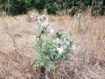 Green and purple thistle weed in brown grass stock images