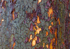 Green purple yellow bark Stock Photography