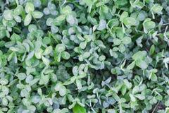 Green purslane summer background, copy space. Portulaca oleracea. Garden plant, beautiful flowerbed decoration Stock Images