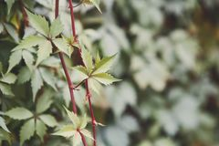 Green purslane summer background, copy space. Portulaca oleracea. Garden plant, beautiful flowerbed decoration Stock Image