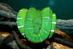 Green Python Stock Photos