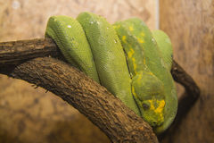 Green Python Royalty Free Stock Photos