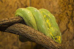 Green Python Royalty Free Stock Image