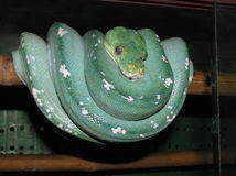 Green python. In the farm Stock Image