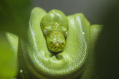 Green python foreground green leaf. Danger but beautiful Royalty Free Stock Photography