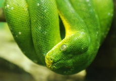 Green python snake, close up to the eye. Stock Photos