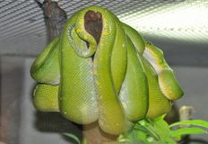Green python Stock Photo