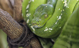 Green Python snake Royalty Free Stock Photography