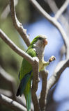 Green Quaker Parrot Royalty Free Stock Photo