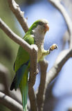 Green Quaker Parrot Royalty Free Stock Image