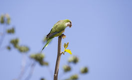 Green Quaker Parrot Stock Images
