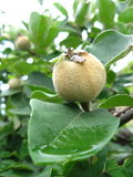 Green quince on a tree Stock Photo
