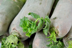 Green radish. In fresh, shown as raw and fresh vegetable and healthy food for dishes Stock Photography