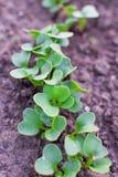 Green radish seedlings in garden. Soil in spring at selective focus Royalty Free Stock Photo