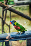 Green Rainbow Lorikeet parrots (Trichoglossus haematodus). Blurred and selective focus beautiful green Rainbow Lorikeet parrots (Trichoglossus royalty free stock photo